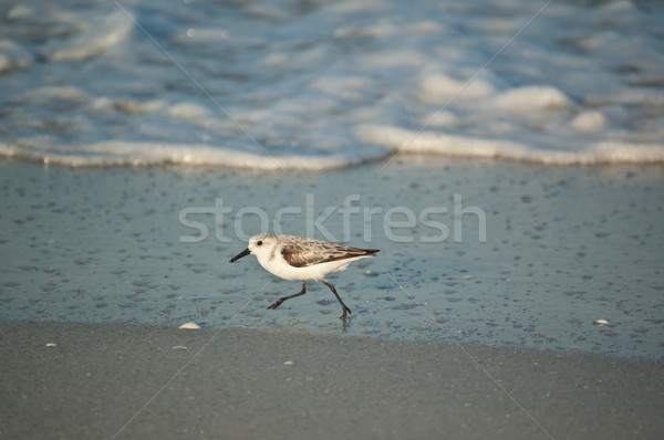 Sanderling Running on a Florida Beach in the Morning Stock photo © brianguest