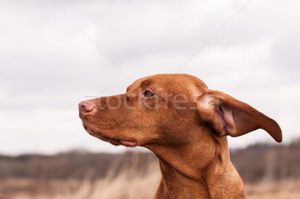 Cão ventoso dia húngaro orelhas de volta Foto stock © brianguest