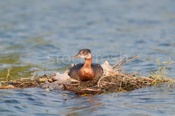 Nesting Red-necked Grebe (Podiceps grisegena). Stock photo © brianguest