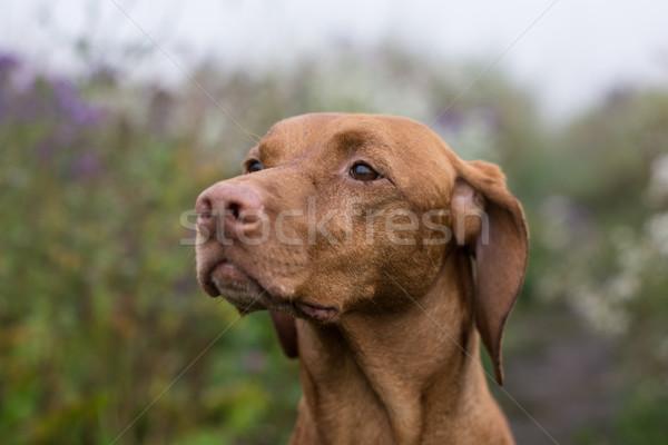 Female Vizsla Dog in a Field Stock photo © brianguest
