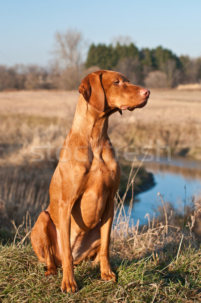 Vizsla Dog Sitting in a Field Stock photo © brianguest