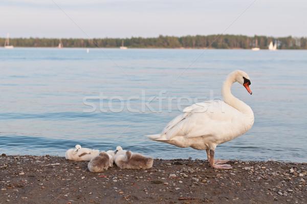 Néma hattyú tengerpart négy tó Ontario Stock fotó © brianguest