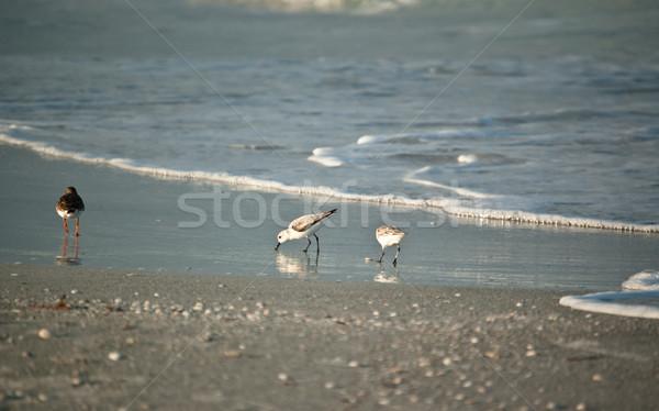 Shorebirds on a Florida Beach in the Morning Stock photo © brianguest