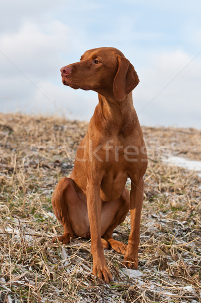 Vizsla Dog Sitting in a Snowy Field Stock photo © brianguest