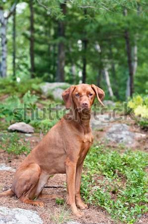 Vizsla Dog Standing on a Rock Stock photo © brianguest