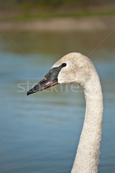 Trumpeter Swan Profile Stock photo © brianguest