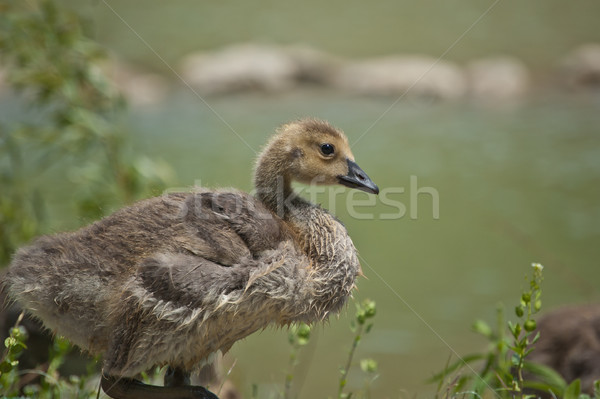 Canada Gosling in the Grass Stock photo © brianguest
