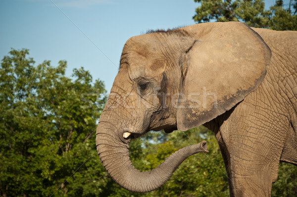 African Elephant Stock photo © brianguest