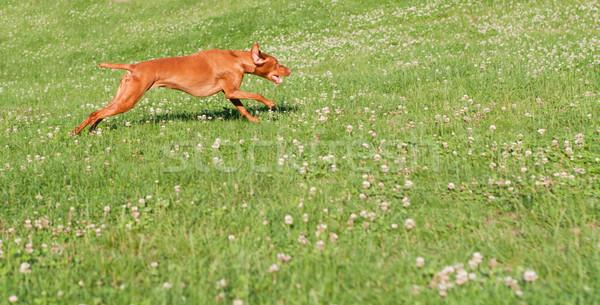 Vizsla Dog Running in the Grass Stock photo © brianguest
