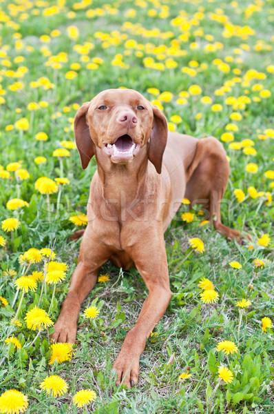 Węgierski psa leży w dół trawy Zdjęcia stock © brianguest