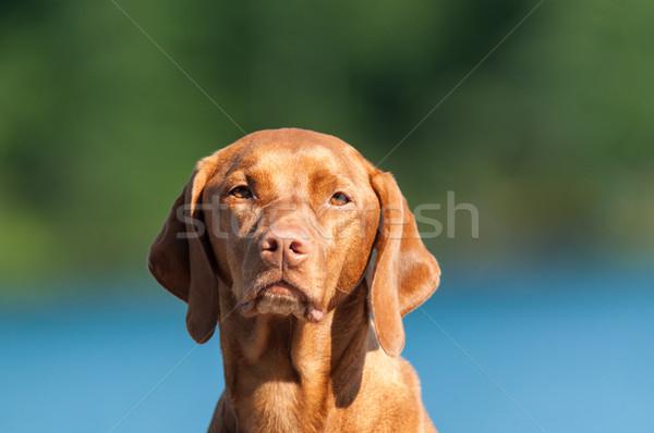 Psa portret shot węgierski niebieski Zdjęcia stock © brianguest