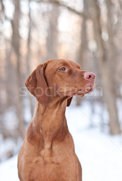 Hungarian Vizsla Dog in Winter Stock photo © brianguest