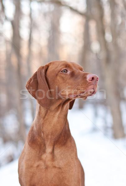 собака зима выстрел лесу лес Сток-фото © brianguest