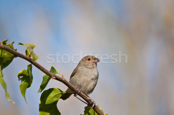 Female Lesser Antillean Bullfinch perched on a branch. Stock photo © brianguest