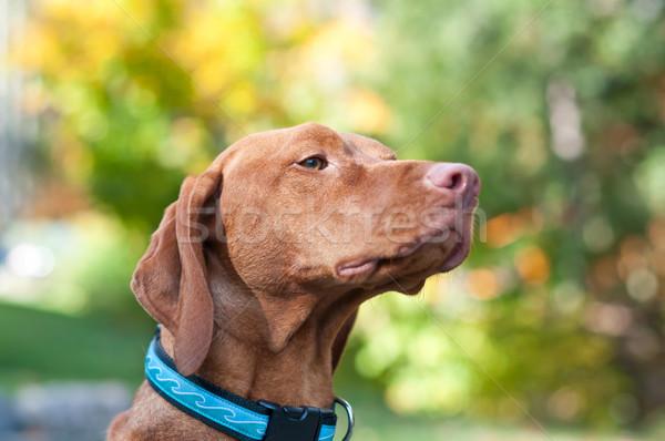 肖像 秋 女性 犬 紅葉 動物 ストックフォト © brianguest