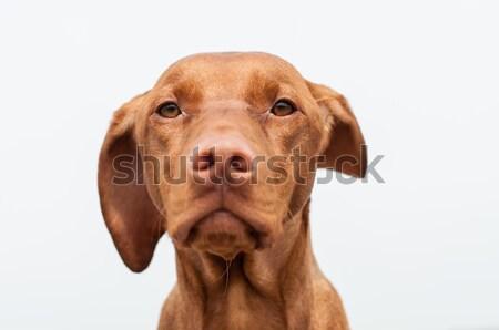 Serious Looking Hungarian Vizsla Dog Closeup Stock photo © brianguest