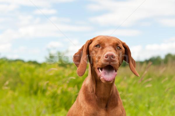 Vizsla Dog (Hungarian Pointer) Portrait Stock photo © brianguest