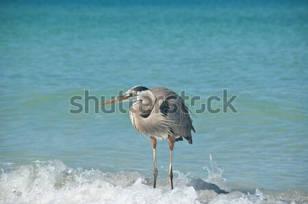 Great Blue Heron Crouching on a Gulf Coast Beach Stock photo © brianguest
