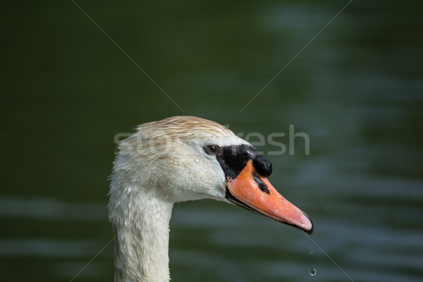 Mute Swan Close-Up with Water Dripping from the Beak Stock photo © brianguest