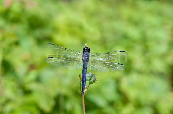 青 トンボ 緑 深い 小枝 外に ストックフォト © brianguest