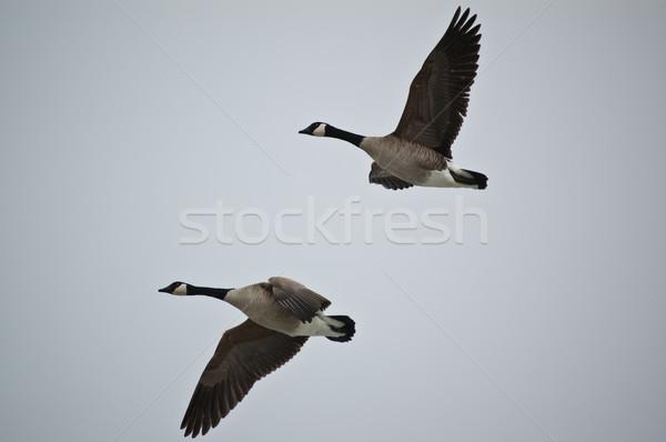 Kanada gęsi lotu pary latać szary Zdjęcia stock © brianguest