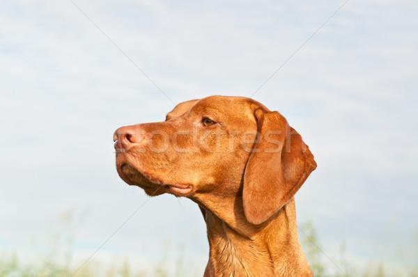 Vizsla Dog (Hungarian Pointer) Closeup Stock photo © brianguest