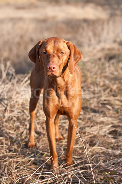 Portrait of a Standing Vizsla Dog Stock photo © brianguest