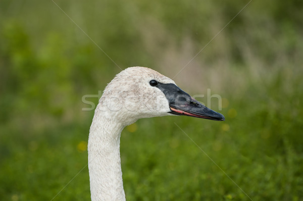 Trumpeter Swan Closeup Stock photo © brianguest