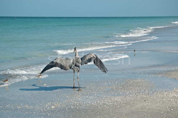 Great Blue Heron and Shorebirds on a Florida Beach Stock photo © brianguest