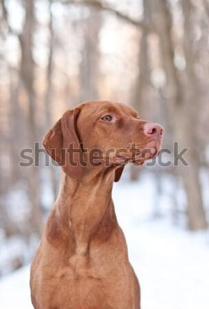 Close-up Portrait of a Vizsla Dog Stock photo © brianguest