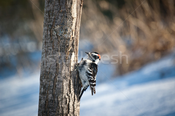 Downy Woodpecker on a Tree Stock photo © brianguest