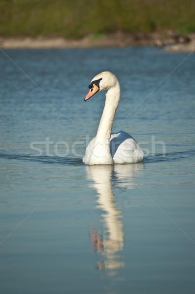 Stock fotó: Néma · hattyú · úszik · tavacska · kék · Ontario