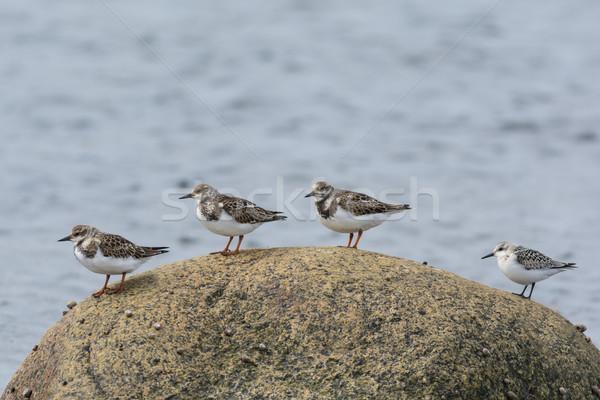Four Shorebirds on a Rock Stock photo © brianguest