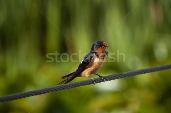 Barn Swallow (Hirundo rustica) on a Steel Cable Stock photo © brianguest