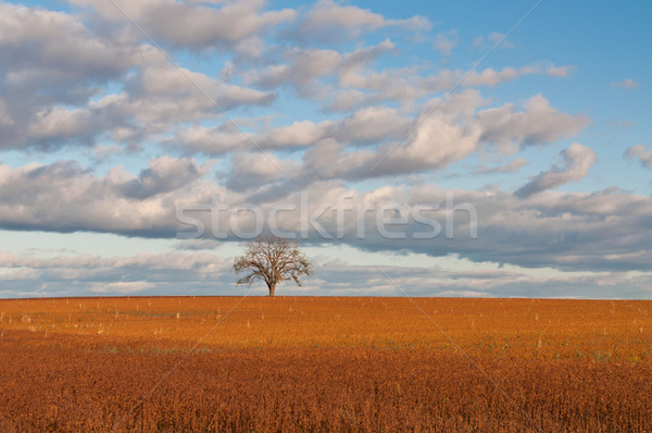 Lone Tree in Autumn Field Stock photo © brianguest