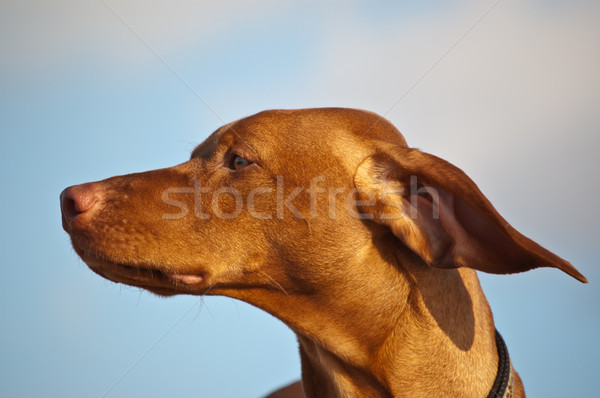 Vizsla Dog on a Windy Day Stock photo © brianguest