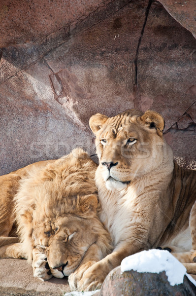 Lions in a Zoo Stock photo © brianguest