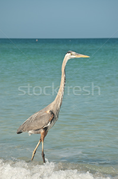 Great Blue Heron on a Gulf Coast Beach Stock photo © brianguest