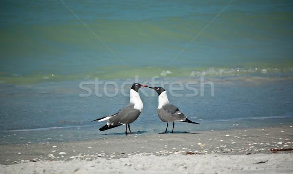 Laughing Gulls on a Florida Beach Stock photo © brianguest