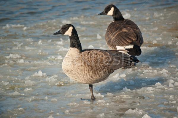 カナダ ギース 立って 凍結 池 ペア ストックフォト © brianguest
