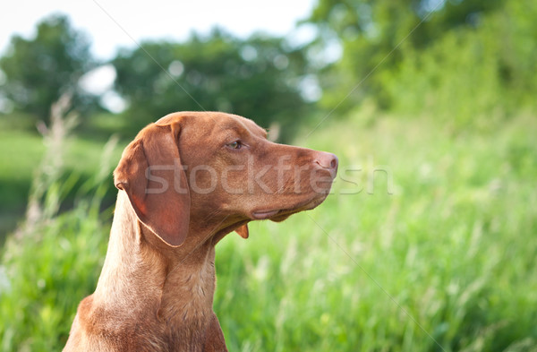 Closeup Portrait of a Vizsla Dog with Wildflowers Stock photo © brianguest