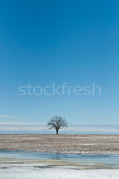 Lone Tree in Winter Field with Blue Sky Stock photo © brianguest