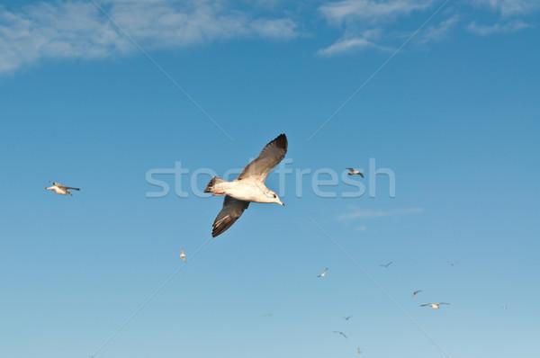 カモメ 飛行 青空 グループ 周りに 白 ストックフォト © brianguest