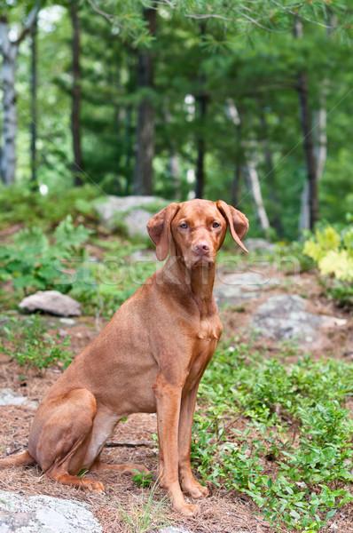 Female Vizsla Dog Sitting in the Woods Stock photo © brianguest