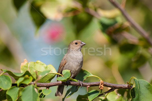 Lesser Antillean bullfinch perching on a branch Stock photo © brianguest