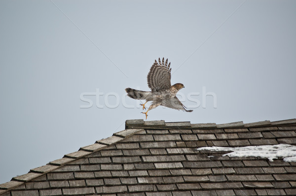 Cooper's Hawk Taking Off from a Roof Stock photo © brianguest