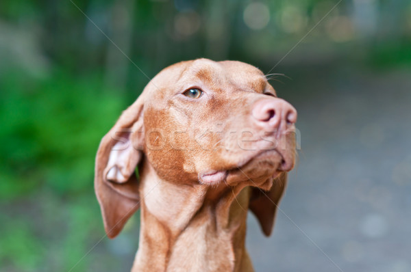Cão húngaro retrato tiro raso Foto stock © brianguest