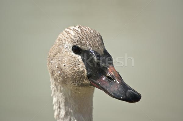 Trumpeter Swan Headshot Stock photo © brianguest