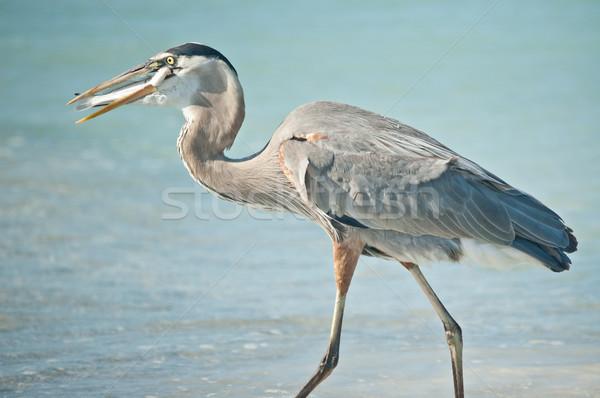 Azul garça-real alimentação peixe Flórida Foto stock © brianguest