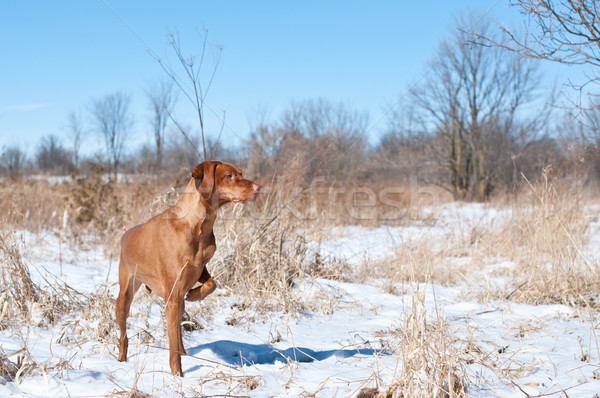 Vizsla Dog Pointing in a snowy field Stock photo © brianguest